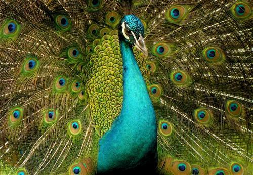 صور - معلومات عن الطاووس اجمل الطيور فى العالم بالفيديو