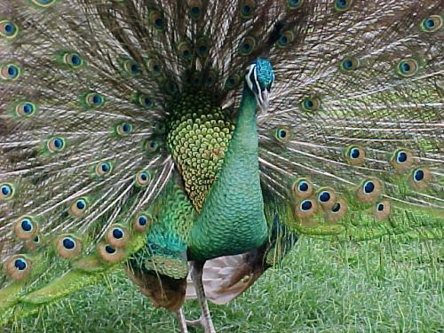 معلومات عن الطاووس - اجمل الطيور فى العالم