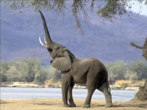 صور - معلومات عن الفيل بالصور والفيديو