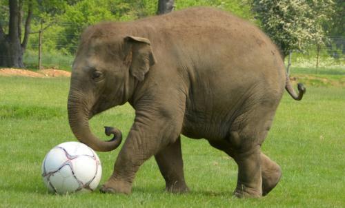 معلومات عن الفيل بالصور والفيديو
