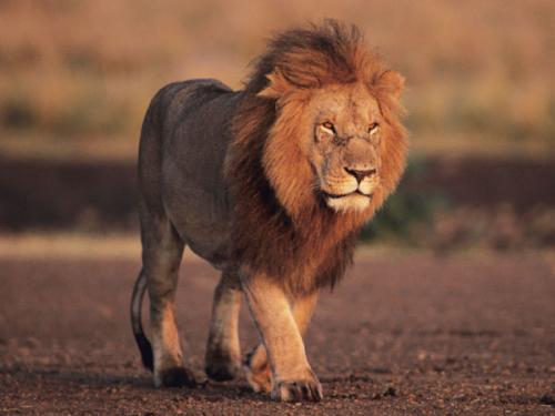 معلومات عن الاسد ملك الغابة بالصور والفيديو