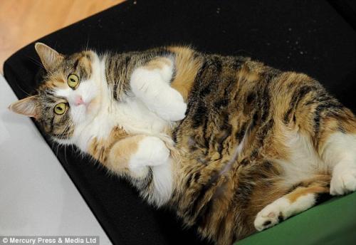 صور - القطط ايضا تقوم بعمل رجيم قاسي لانقاص وزنها