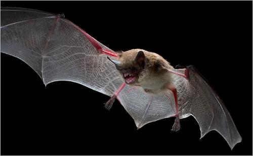صور - معلومات عن الخفاش بالصور والفيديو