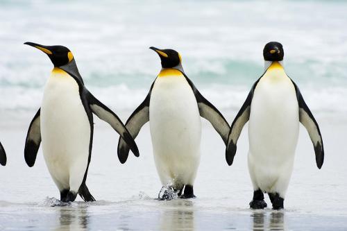 صورة لطيور البطريق ! 148-1-or-1404999300