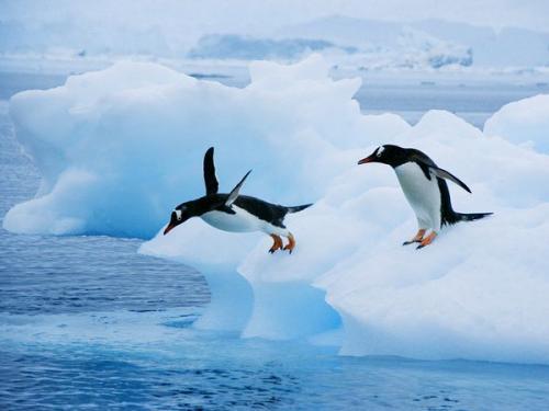 صورة لطيور البطريق ! 148-6-or-1404999306