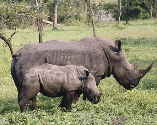 صور - معلومات عن وحيد القرن الاسود بالصور