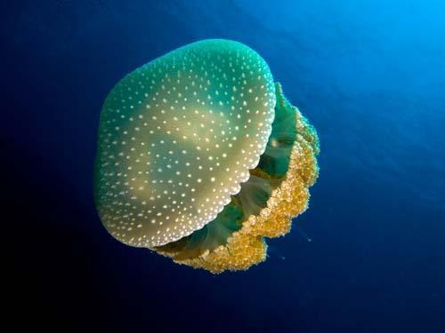 صور - حقائق مثيرة عن قنديل البحر بالصور