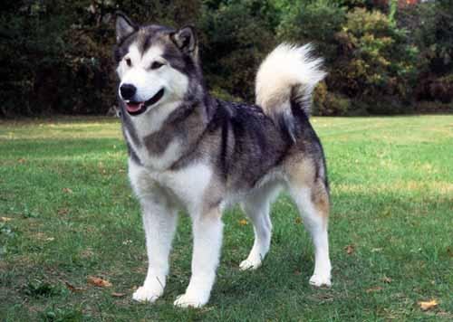 Native American Dog Breeders Uk