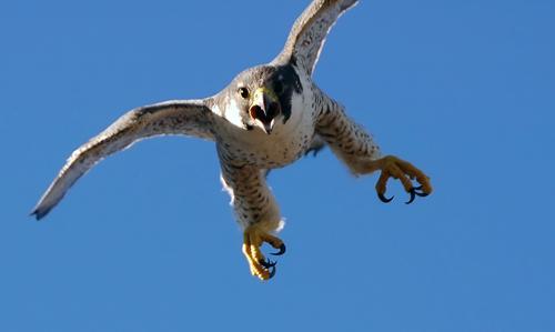 اجمل صور صقور احد الطيور الجارحة