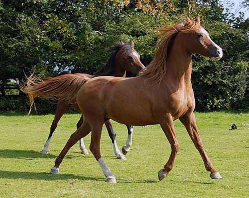 اجمل صور خيول عربية  اصيلة