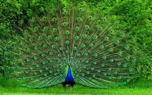 اجمل صور طاووس صاحب الريش المبهر