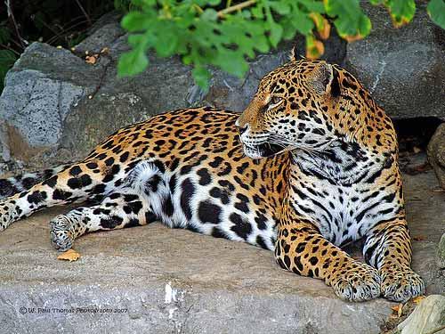صور - معلومات عن الفهد بالصور