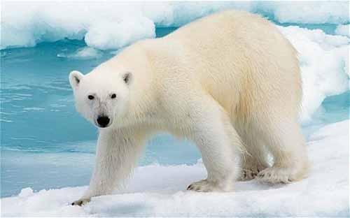 معلومات عن الدب القطبي الابيض بالصور