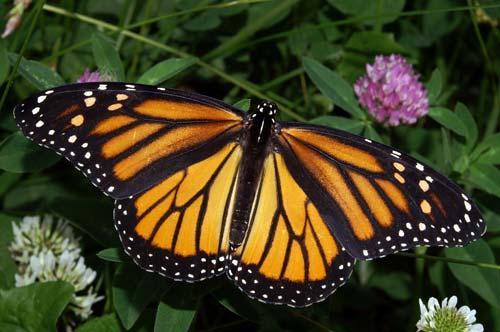 الفراشة الملكية من الحيوانات المهددة بالإنقراض