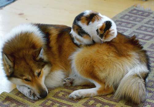 صور - صور طريفة لقطط مسترخية فوق  ظهور الكلاب
