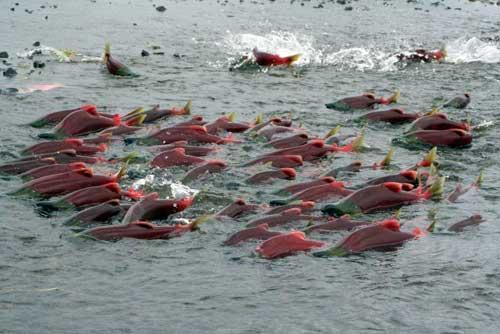 صور - معلومات عن سمك السلمون وفوائده الصحية لجسم الانسان