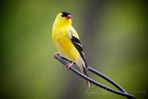 صور - معلومات عن طائر الحسون بالصور