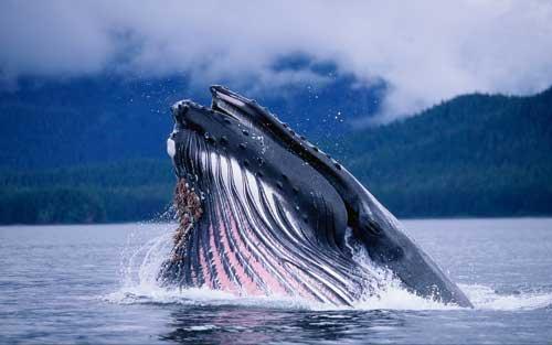 صور - معلومات عن الحوت الازرق اكبر حيوان في العالم