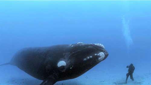 معلومات عن الحوت الازرق اكبر حيوان في العالم