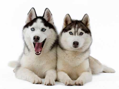 معلومات عن  كلاب الهاسكي بالصور