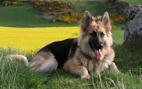 صور - معلومات عن كلب الراعي الالماني بالصور