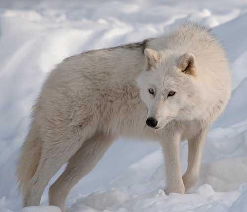 صور - معلومات عن ذئب القطب الشمالي بالصور