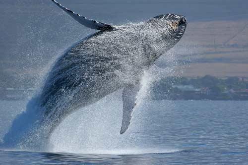 صور - معلومات عن الحوت الرمادي بالصور