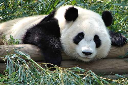 صور - معلومات عن دب الباندا اندر انواع الدببة