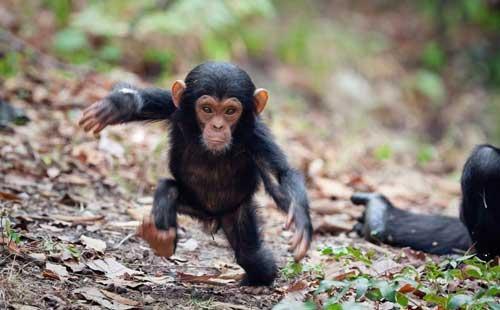 صور - معلومات عن قرد الشمبانزي