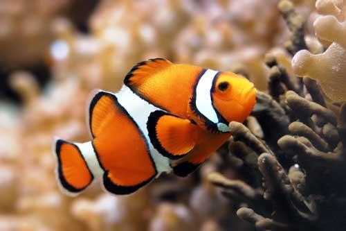 سمك المهرج احد اجمل الاسماك
