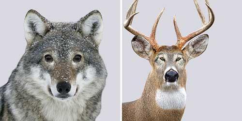 صور - كيف يبدو المشهد عند مبادلة عيون الحيوانات المفترسة بفريستها ؟
