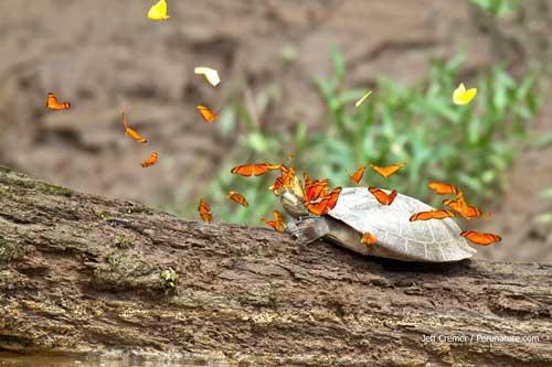 صور - الفراشات تشرب دموع السلاحف والتماسيح في مشهد مذهل