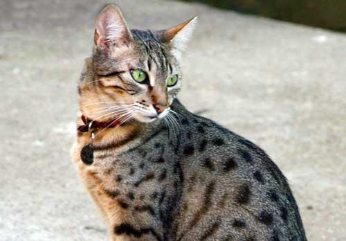 صور - ماذا تعرف عن قط الماو المصرية ؟