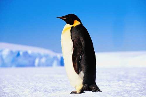 صور - معلومات عن طائر البطريق الامبراطوري