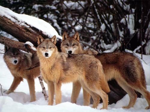 صور - معلومات عن الذئب الاحمر