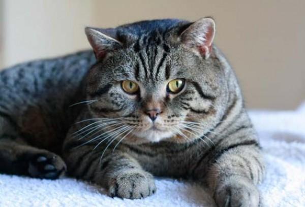 صور - ماذا تعرف عن القط البريطاني قصير الشعر ؟