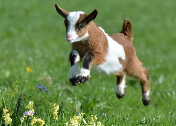 اجمل صور حيوان الماعز