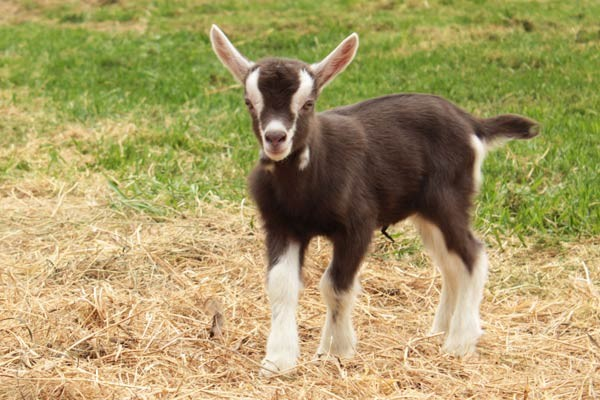 صور - اجمل صور حيوان الماعز