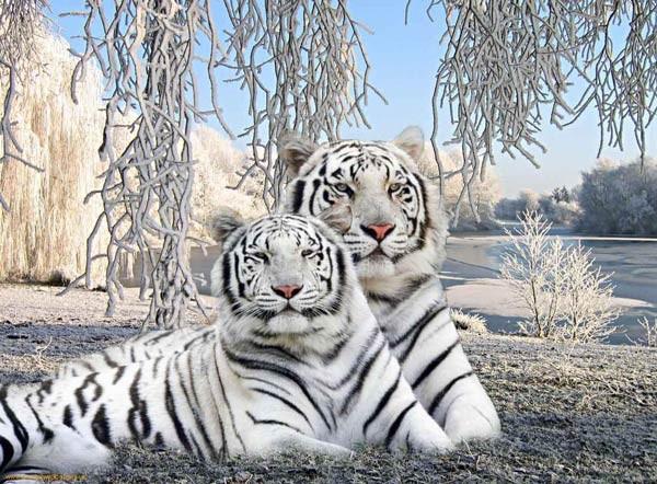 صور اجمل نمور في العالم