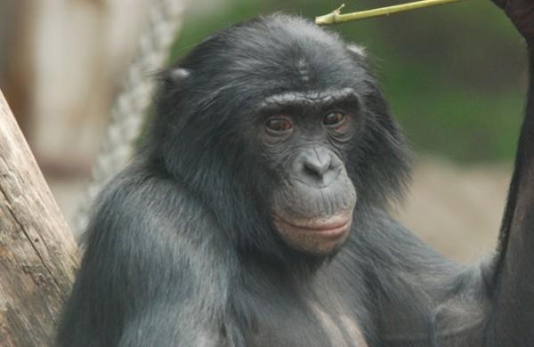 هل قراءة القردة العليا لافكار الاخرين حقيقة ام خيال ؟