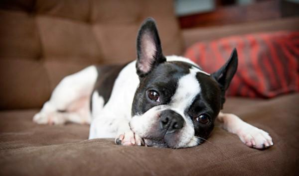 صور - كيفية تربية كلب تيرير بوسطن و العناية به ؟