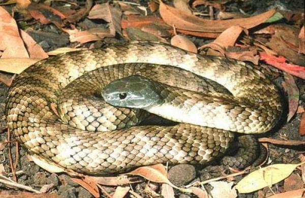 صور - 10 من اخطر الثعابين فى العالم بالصور
