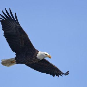 معلومات عن النسر اكبر الطيور الجارحة في العالم