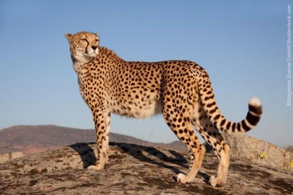 معلومات عن الفهد اسرع حيوان بري في العالم ماجيك بوكس