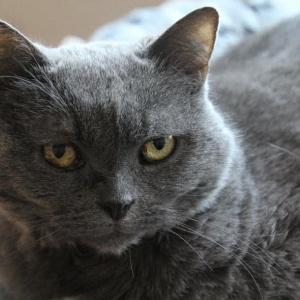 10 من اكبر انواع القطط في العالم بالصور
