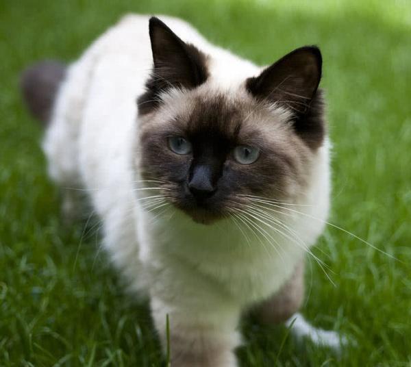 صور - 10 من اكبر انواع القطط في العالم بالصور