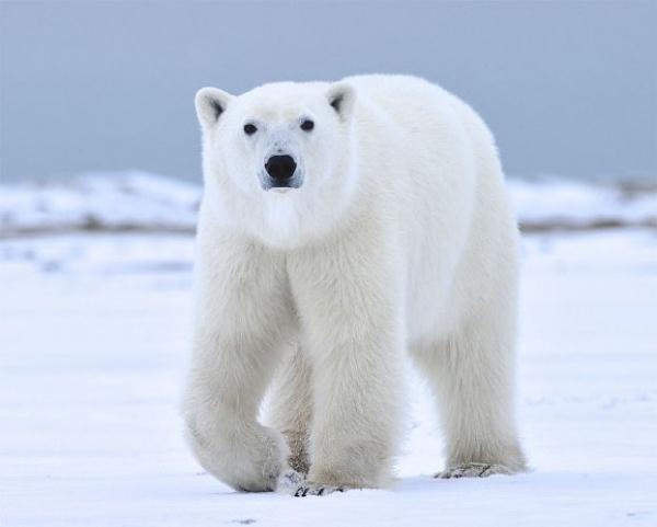 موطن الدب القطبي الاصلي