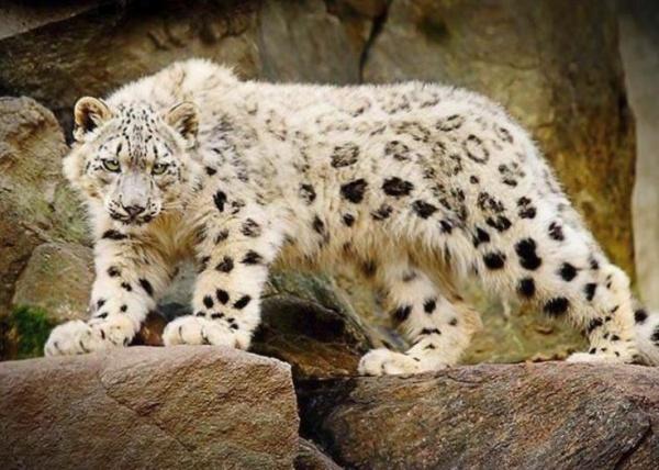معلومات عن النمر الثلجي