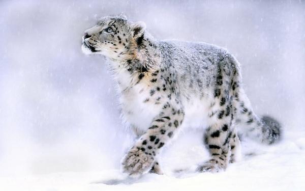 فراء النمر الثلجى