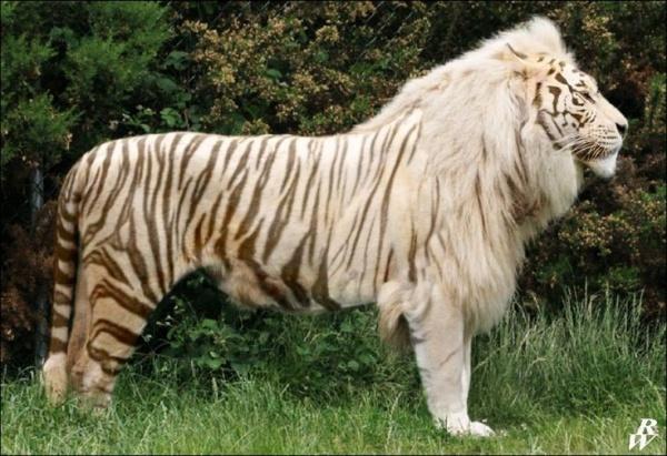 حيوان اللايجر المهجن